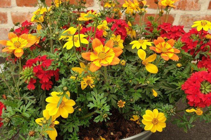 zomerbloeiers in bloempot